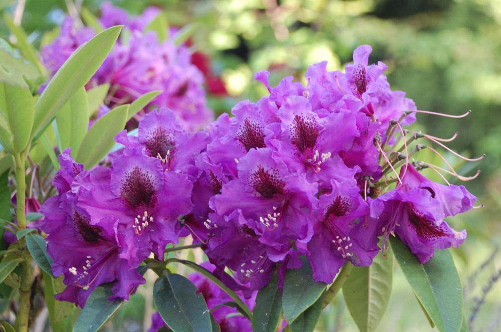 Rhododendron, North Saanich, BC