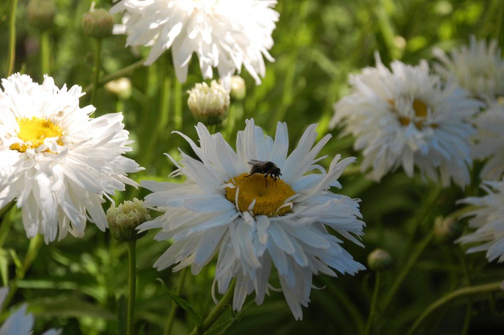 Double daisies in my , Hillsboro, OR garden