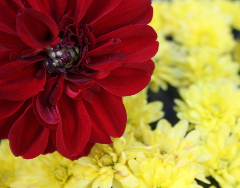 Dahlia and mums, Lewisville, TX