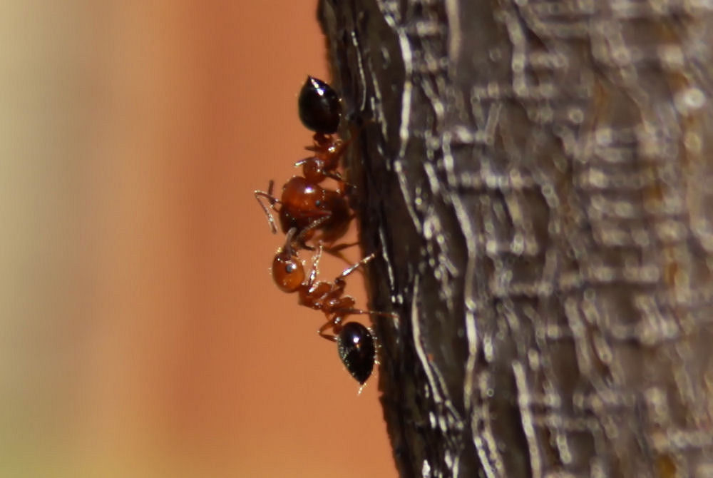 Fire Ants on the Crepe Myrtle tree, Lewisville TX