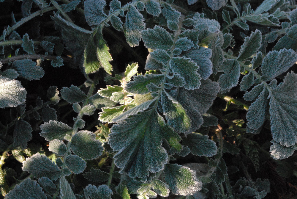 Frosty Geum leaves