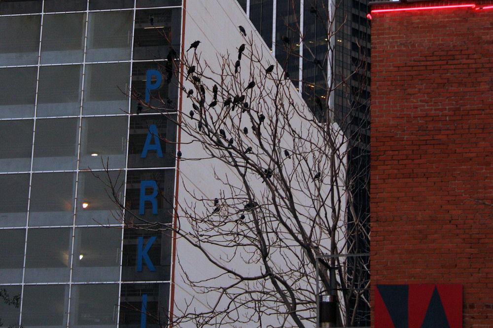 Grackles, downtown Dallas, TX
