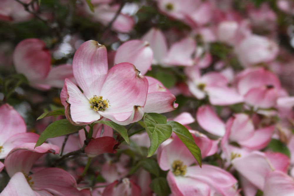 Dogwood blossoms, Hillsboro, OR