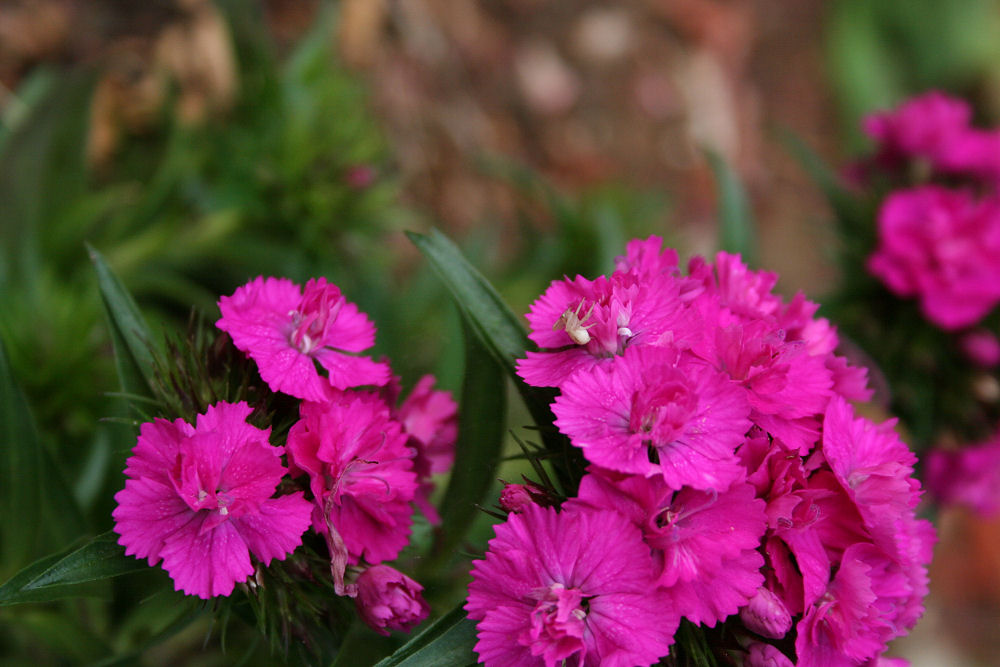 Sweet William and spider tenant, Lewisville, TX
