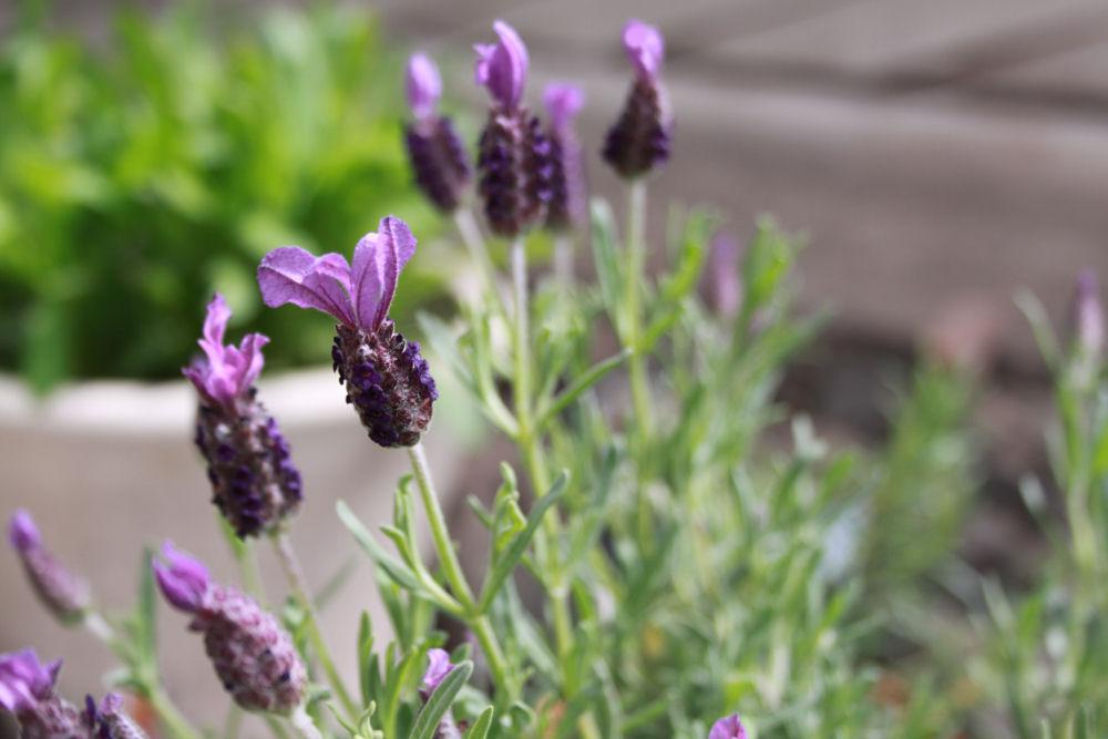 Lavender. Hillsboro, OR