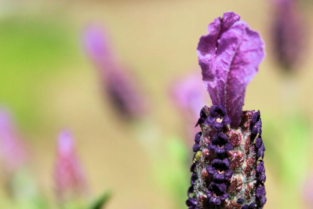Lavender macro. Hillsboro, OR