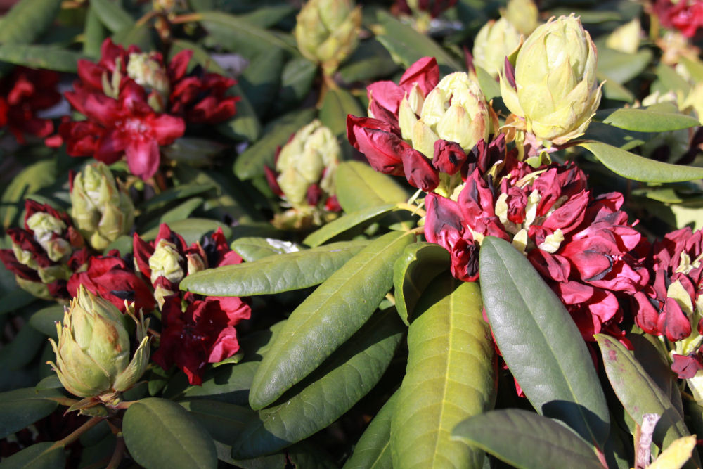 Rhododendron. Hillsboro, OR
