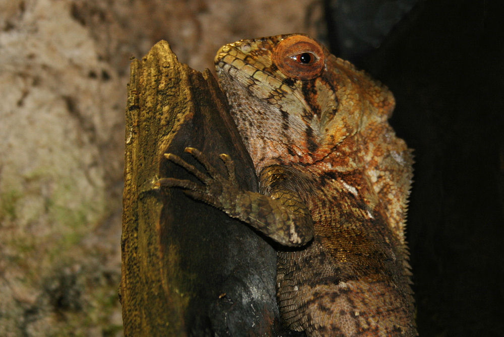 Iguana, Dallas World Aquarium