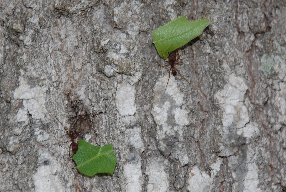 Leaf-cutter Ants, Choke Canyon State Park, Texas