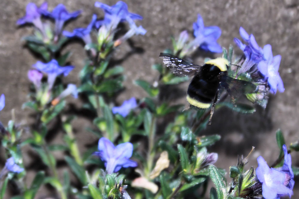 Bumblebee on Lithodora. Hillsboro, OR