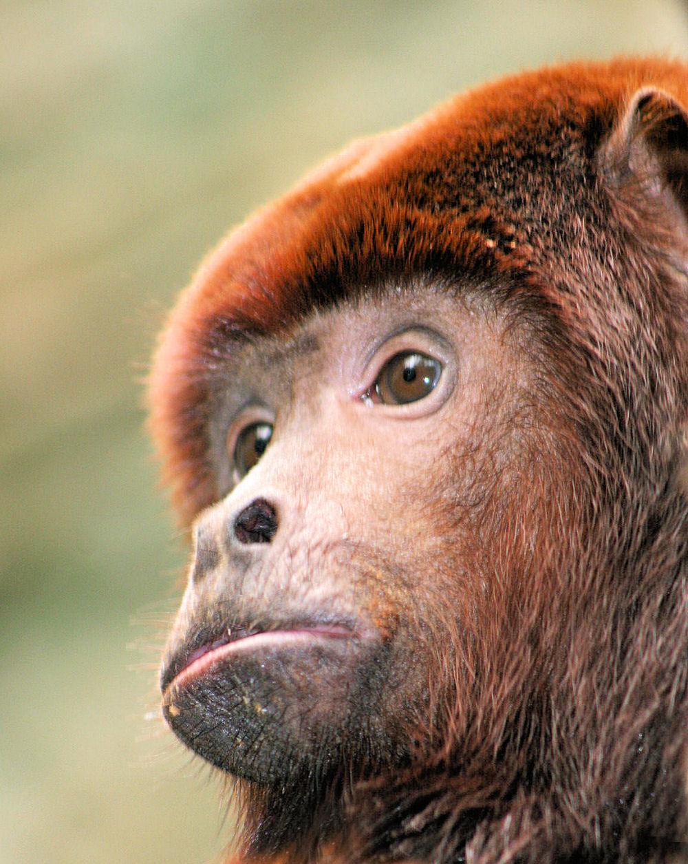 Male Howler monkey, Dallas World Aquarium, Dallas, Texas