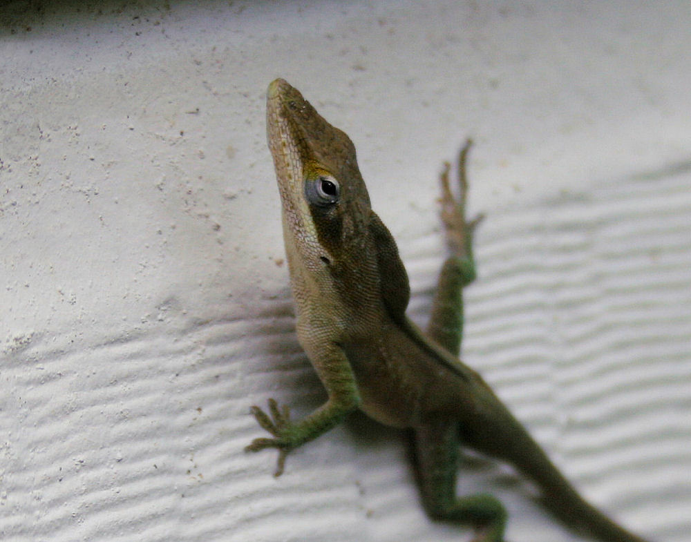 Anole on the side of our house, Lewisville, TX