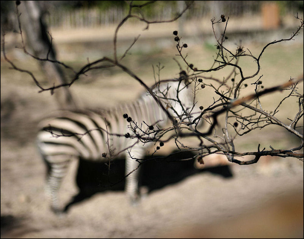 Myrtle at the Zoo - focal of Myrtle tree and seed pods with Zebra, FW Zoo TX