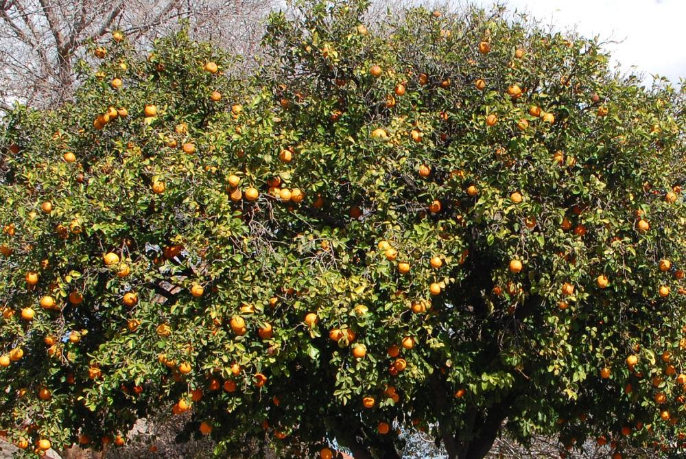 Oranges in someone's front yard garden, Phoenix, AZ
