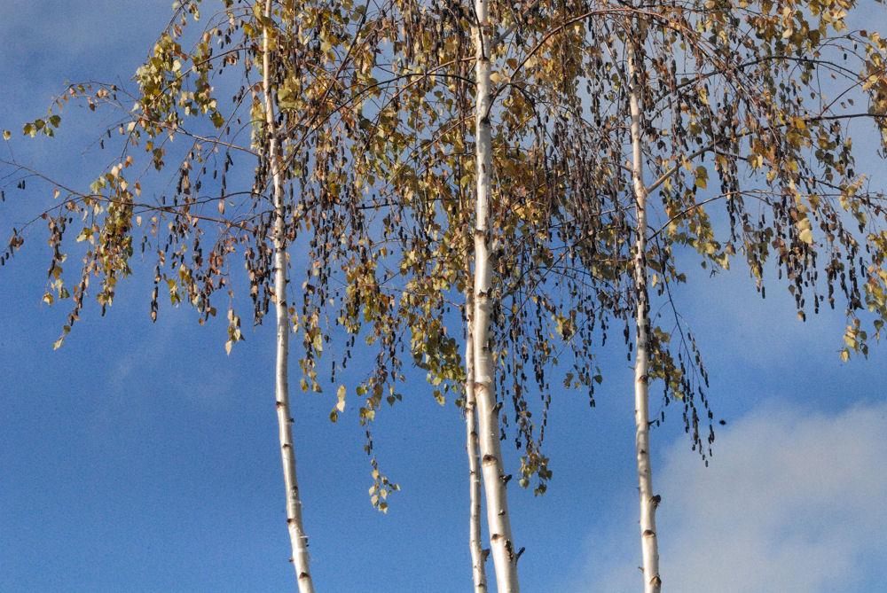 Silver Birch, Rood Bridge Park, Hillsboro OR