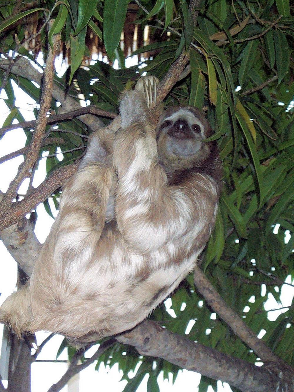 3-toed Sloth  at the  Dallas World Aquarium