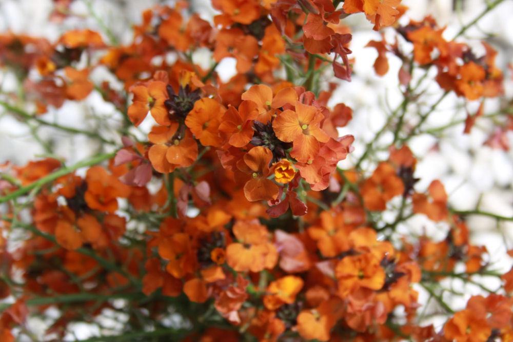 Wallflower. Hillsboro, OR