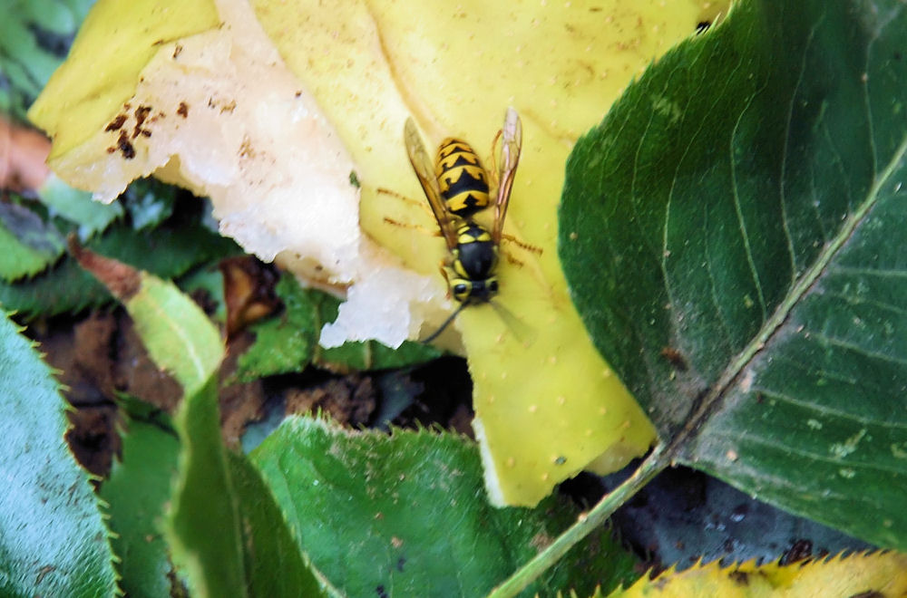 Bees, wasps and hornets love the fruit dropping from our neighbor's trees