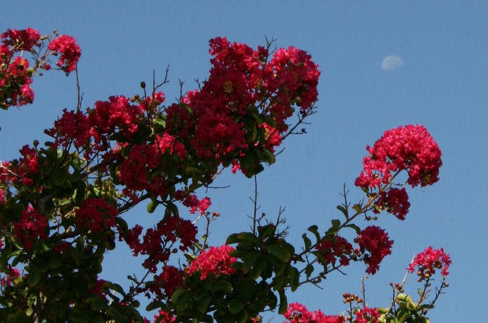 Morning moon, Crepe Myrtle tree