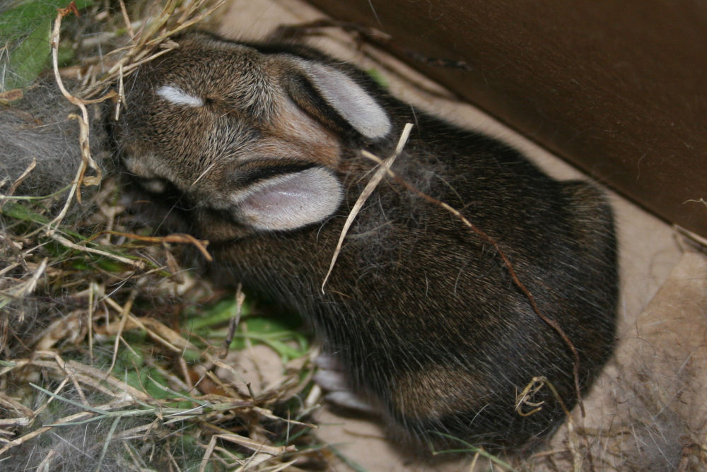 One of 5 baby rabbits found by Sombra, my visiting sister-in-law's dog