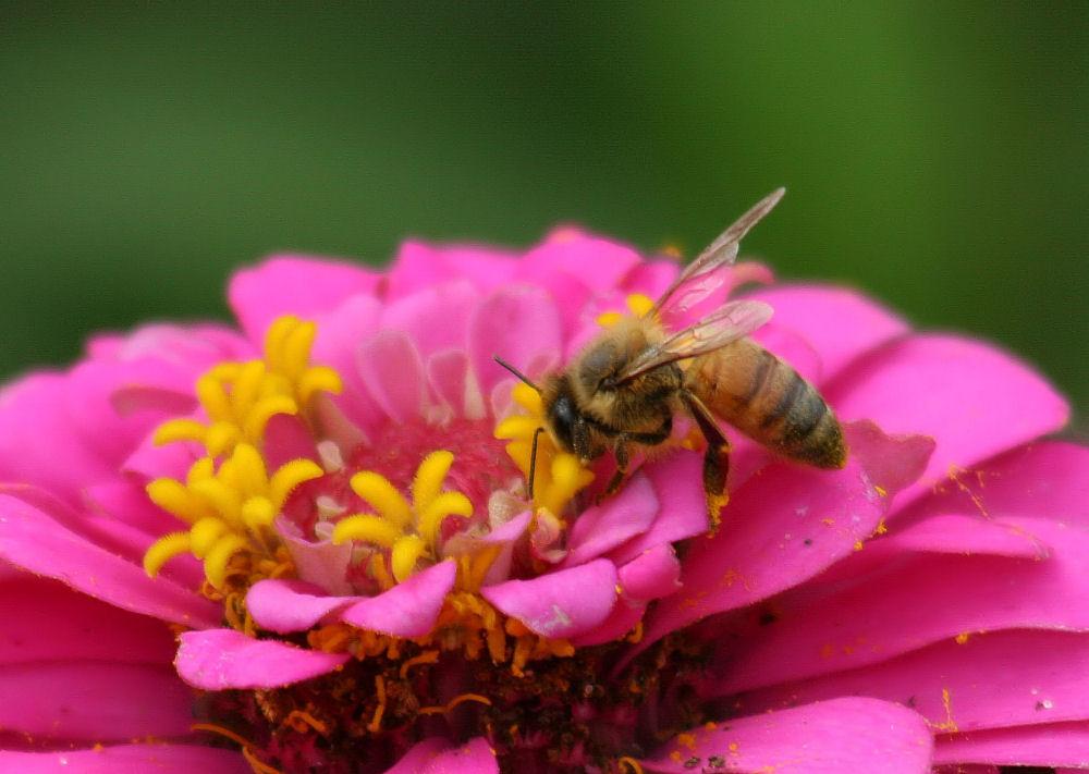 Domesticated bee, Zinnia