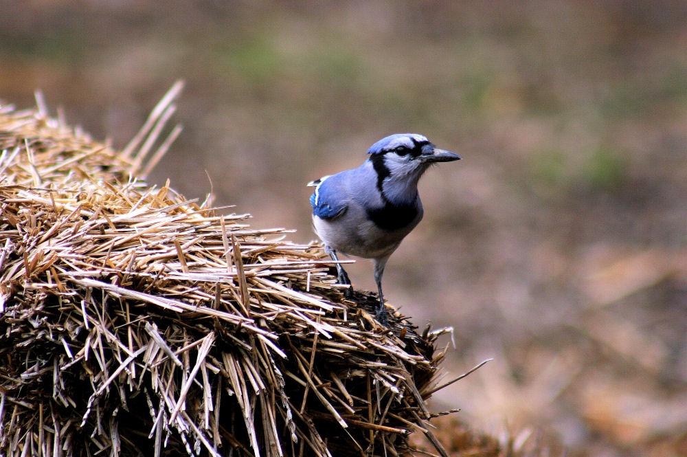 Bluejay,  Dallas Arboretum, Dallas, Texas