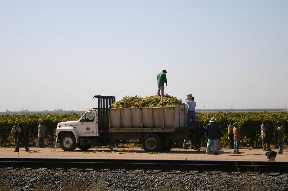 Hispanic workers loading trucks with grapes for transport, Southern California