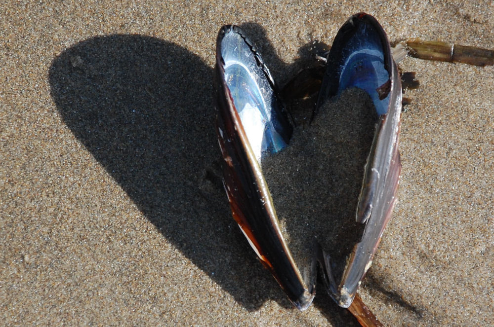 Heart shaped Mussel shell and shadow, Oceanside OR