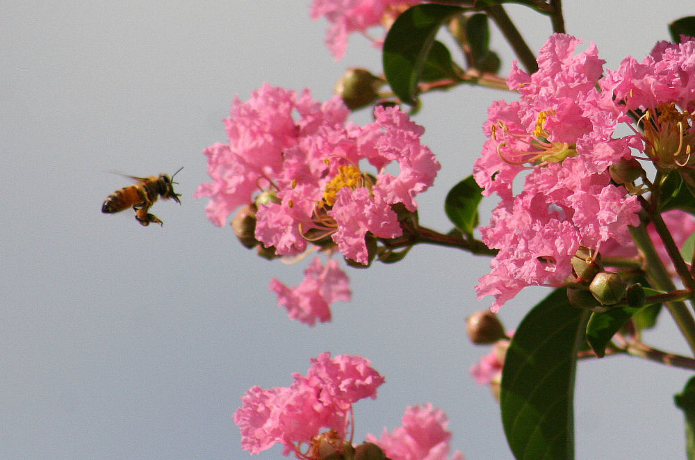 Crepe Myrtle bloom all summer and the bees love it