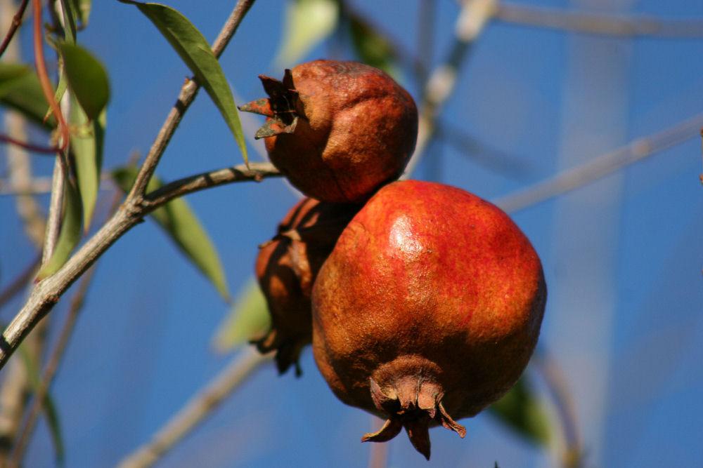 Pomegranate, Irving TX