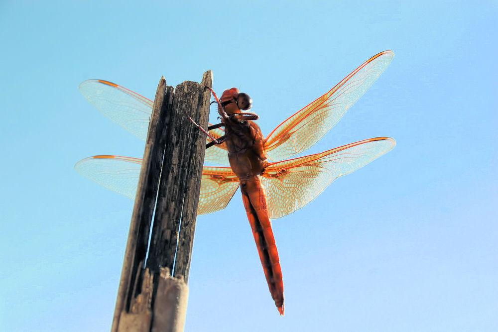 Large, deep orange-red dragonfly, Lewisville, TX