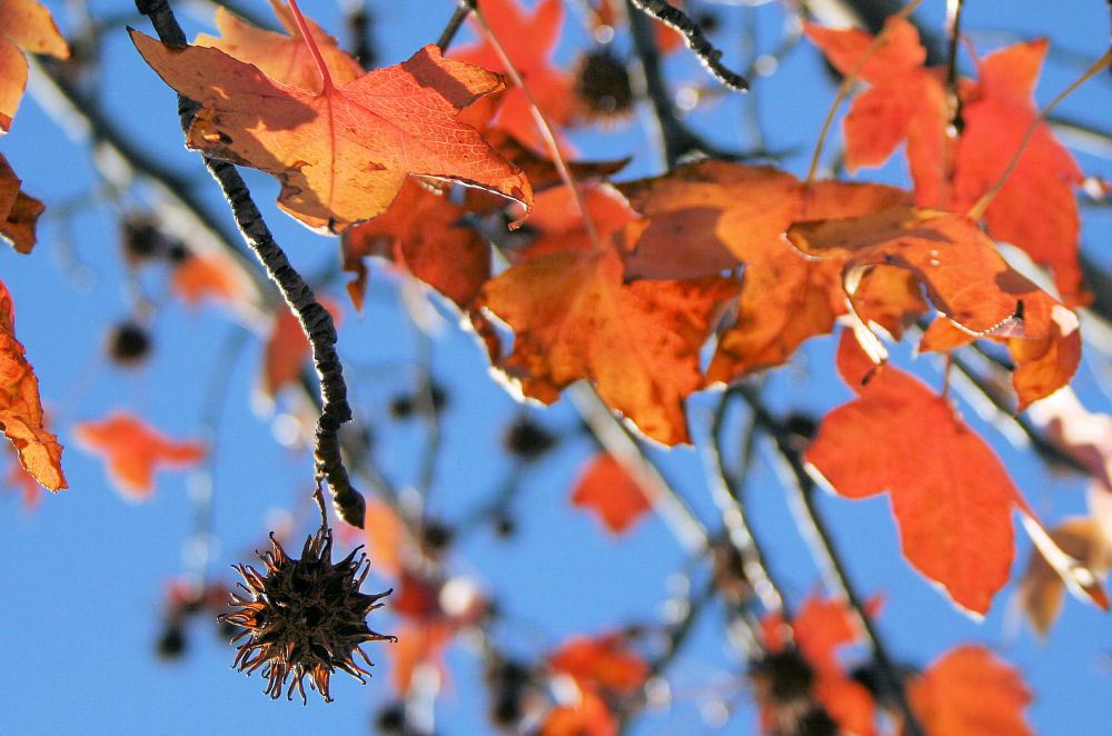 Sweetgum leaves and spiky seed pod Lewisville, TX