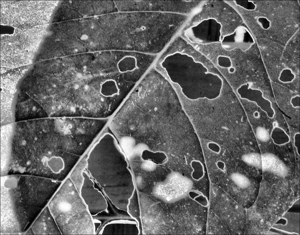 Munch marks on avocado leaves, B/W photo