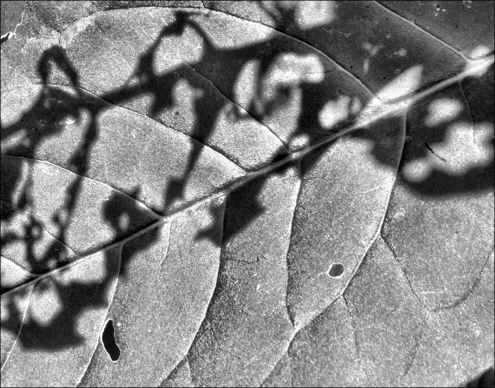 Insect munch marks shadows on avocado leaves, B/W photo