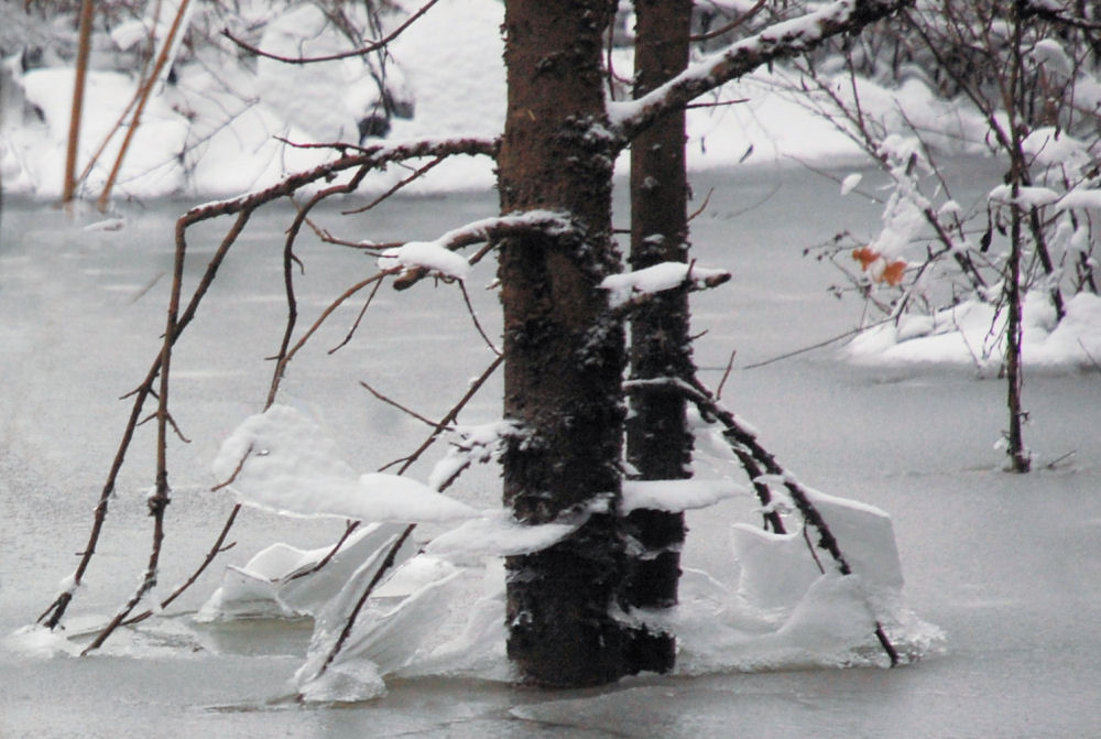 Flooded waters freeze then recede, then freeze again, creating skirts of ice around trees