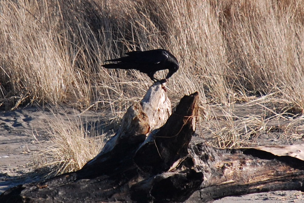 Raven with food, Seaside, OR