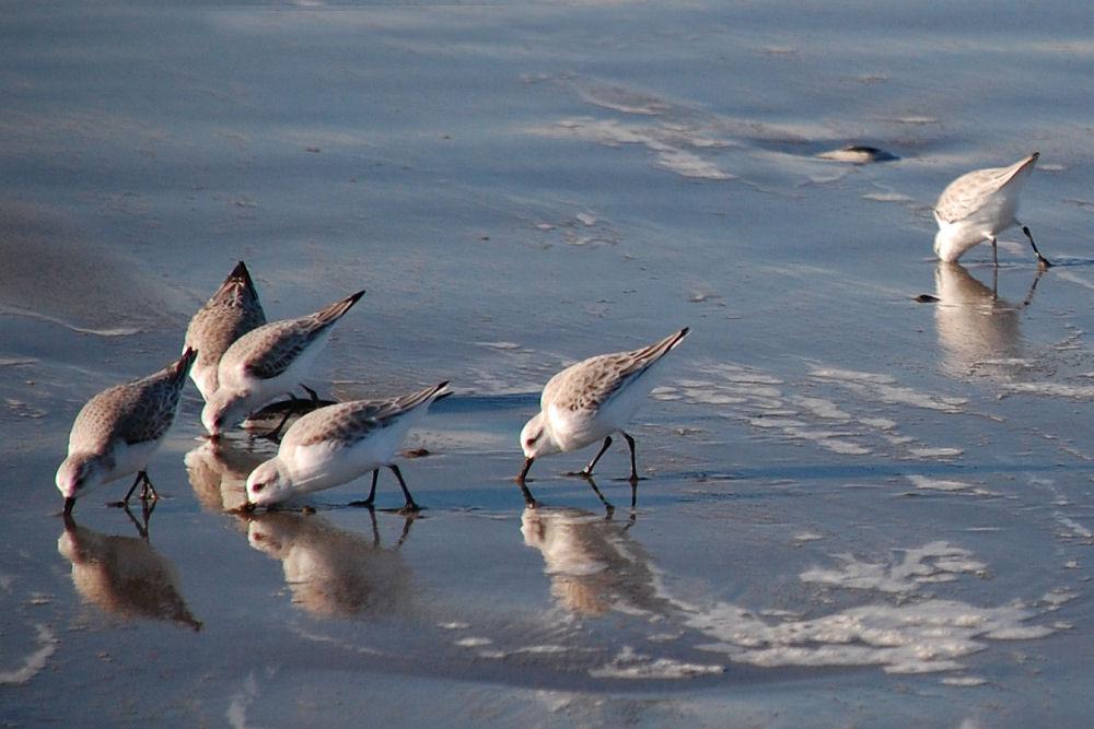 Western Sandpipers, Seaside, OR
