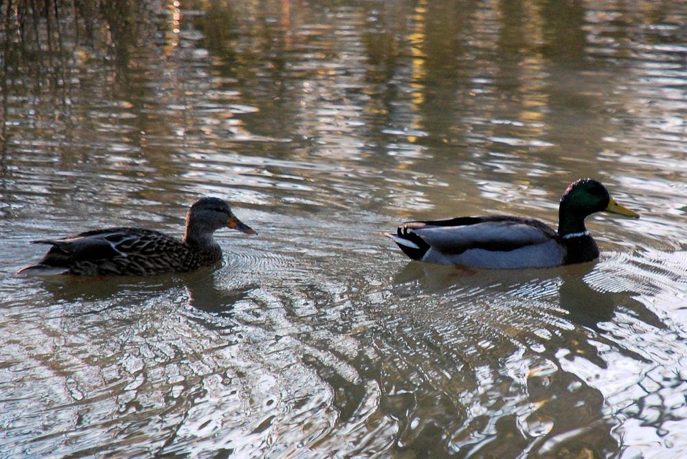 Mallard and drake, Rood Bridge Park, Hillsboro OR