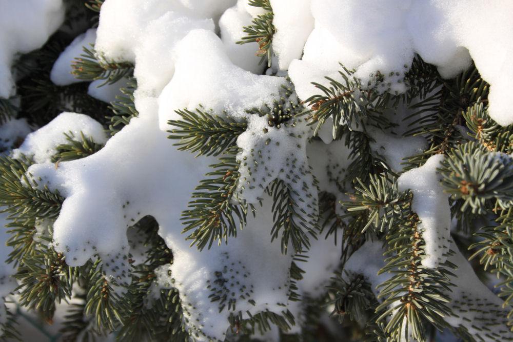 Blue Spruce, Edmonton, Alberta