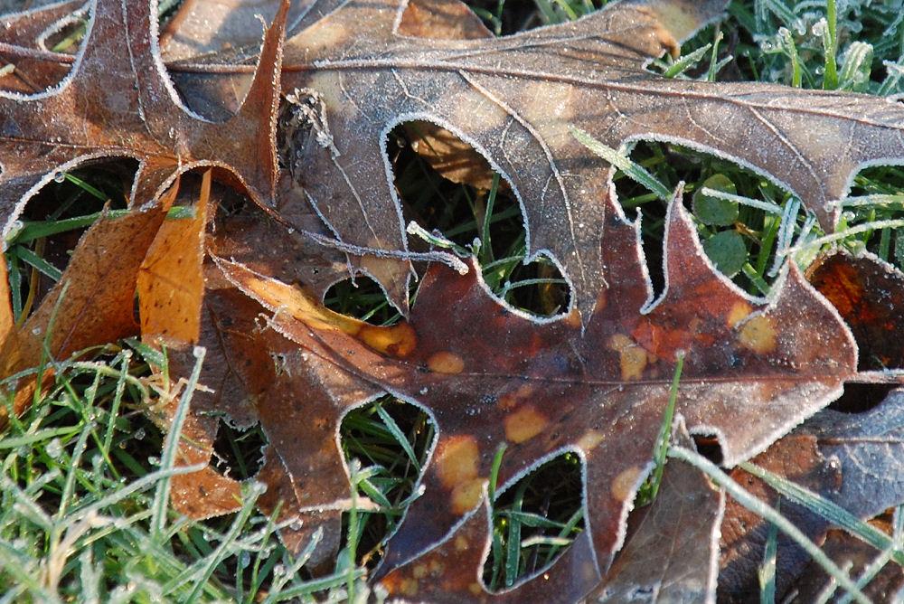 Frosty oak leaves, Rood Bridge Park, Hillsboro, OR