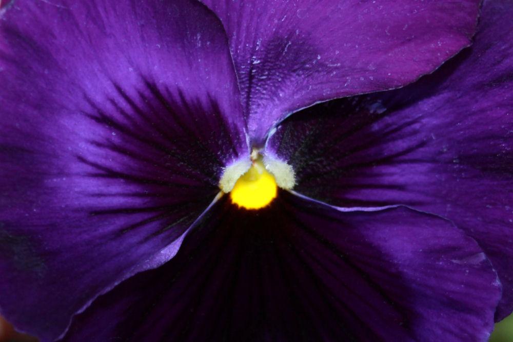 Velvety purple Pansy, Lewisville TX winter garden