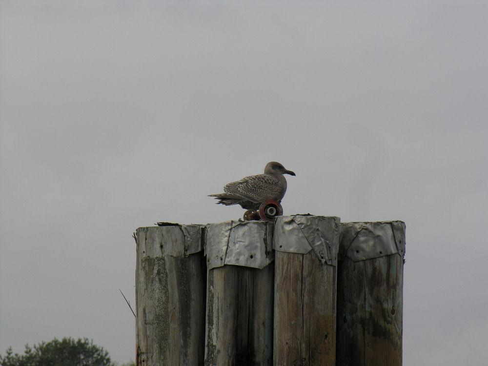 Seagull looks like it has wheels, Victoria, BC