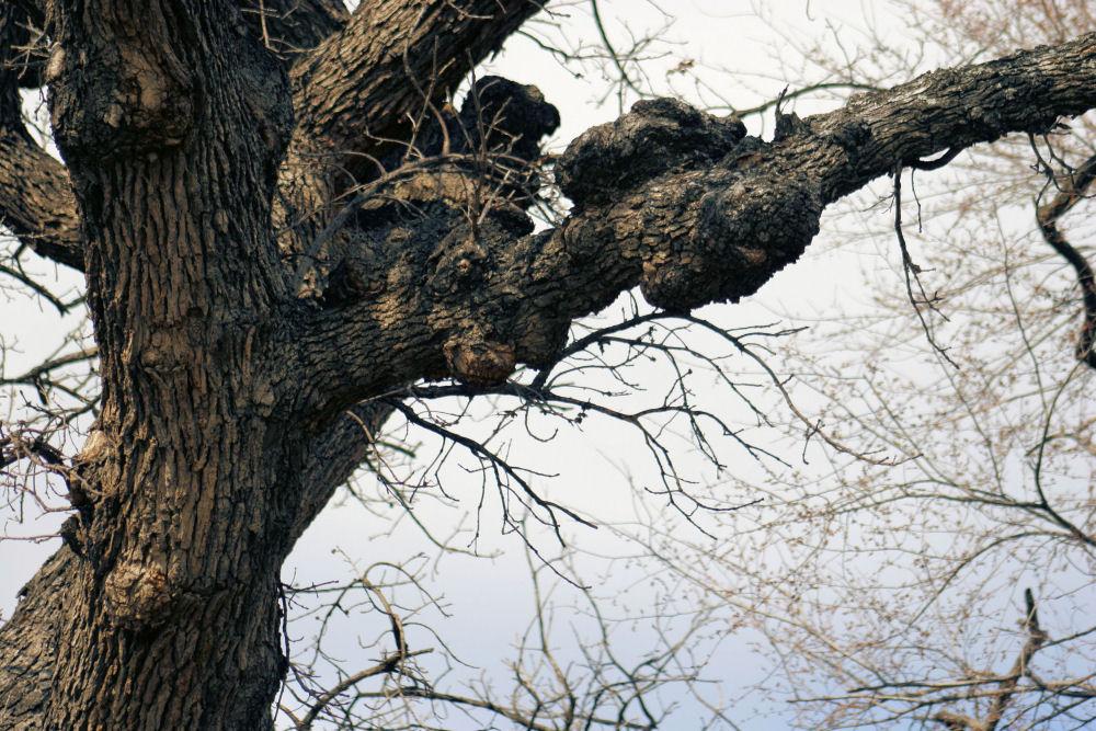 Oak burls, Coppell, Texas