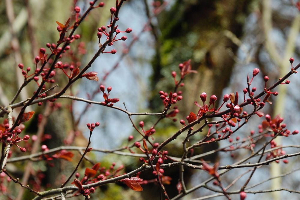 Purple Sandcherry just about to bloom