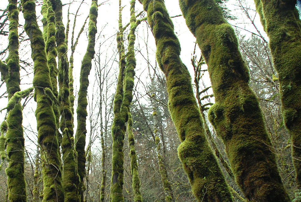 Thick moss on trees near Gales Creek, Oregon