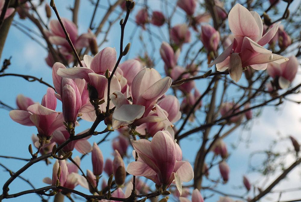 Oyama Magnolia, Hillsboro, OR