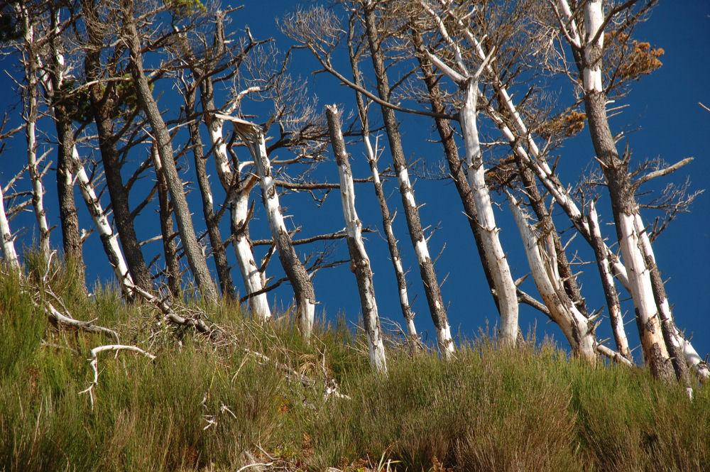 Windswept trees, Oceanside, OR