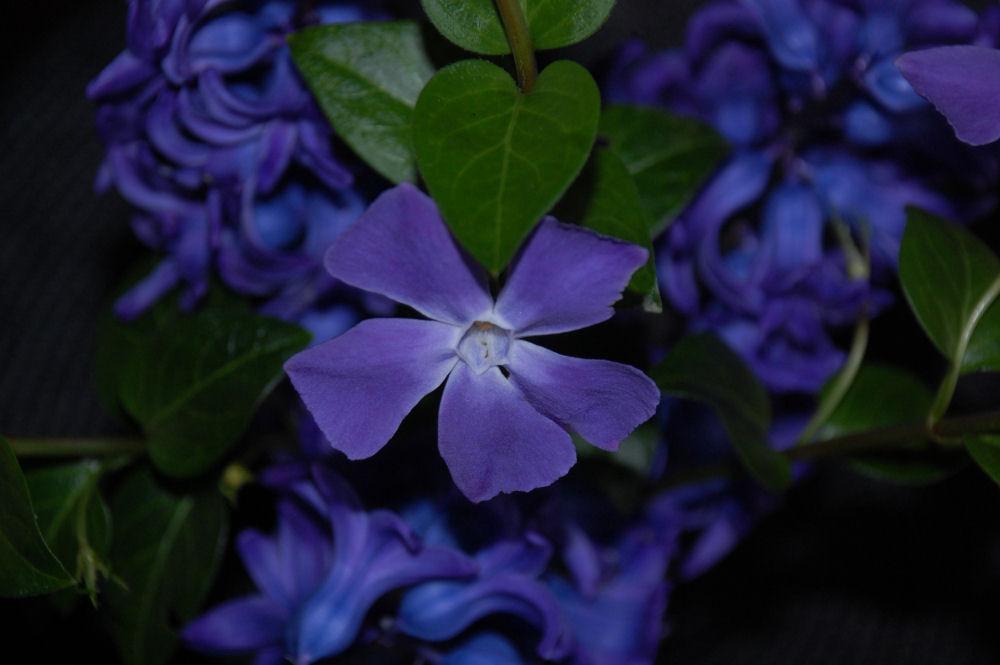 Periwinkle-Hyacinth