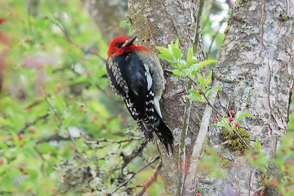 Red Breasted Sapsucker, Hillsboro, OR