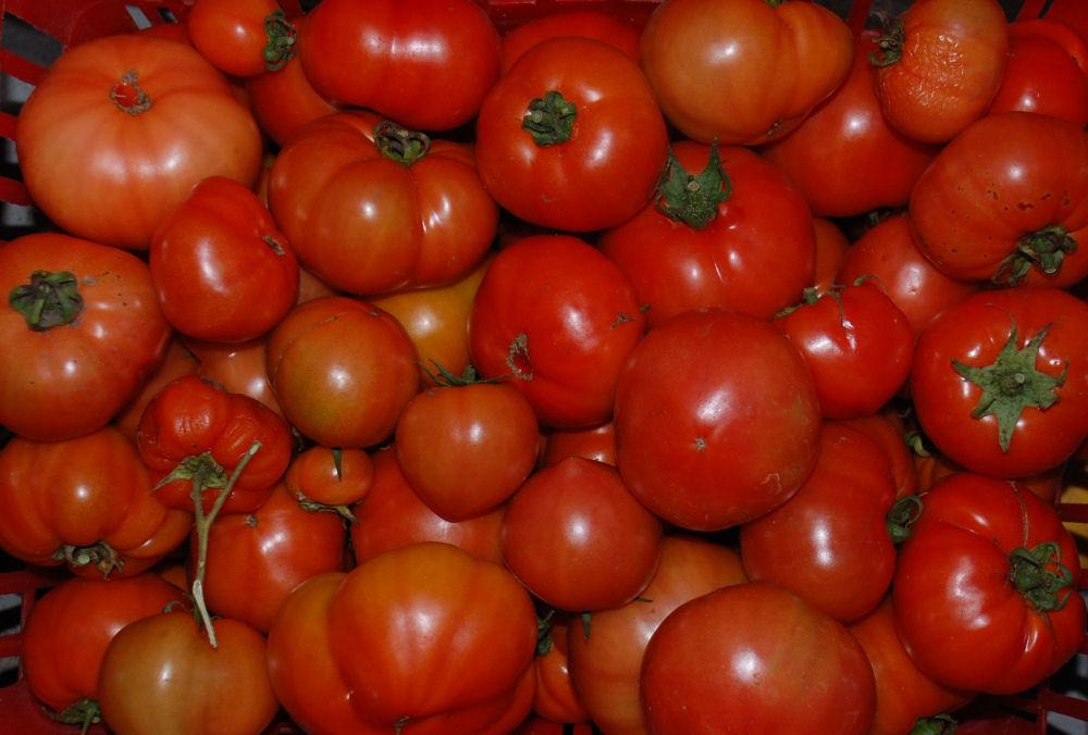 Garden tomatoes, North Saanich, BC